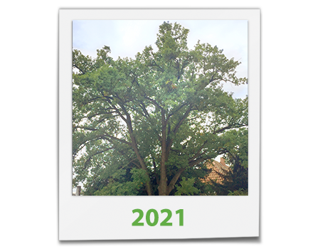 Die BECHER Eiche im Jahr 2021 in einem Polaroid Bild